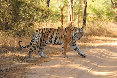Неожиданная встреча с тигром на дороге (видео)