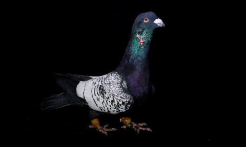 Красивые голуби задорого