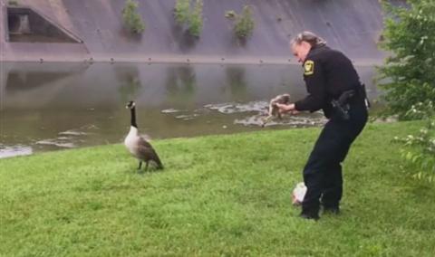 Гусыня «попросила» полицейского спасти ее детеныша