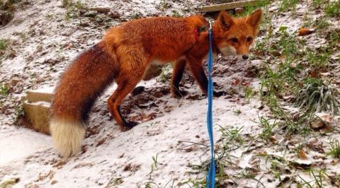 В Ленобласти в одном доме с охотничьими собаками живёт молодой лис Пабло