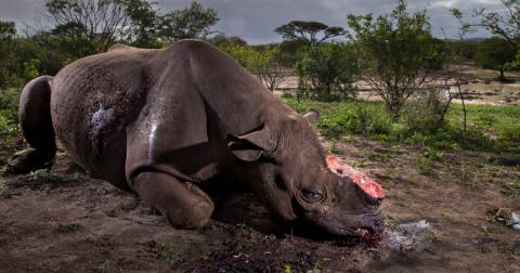 Душераздирающий снимок убитого носорога стал победителем Wildlife Photographer of the Year 2017