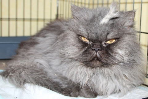 В Волгограде нашли двойника Полковника Мяу – самого злобного кота в мире