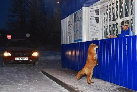 На границе Приамурья и Якутии дань с дальнобойщиков собирает… лис