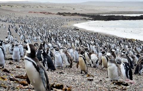 Миллионную колонию пингвинов…