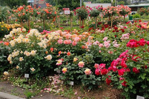 Чем отличаются розы: совреме…