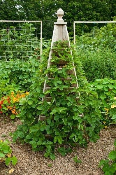 Выращивать клубнику можно ещ…