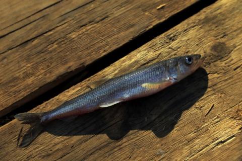 Под Костромой отравили фенолом десятки тысяч особей рыбы