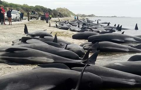 Еще около 200 дельфинов-гринд выбросились на берег в Новой Зеландии