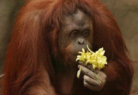 Орангутан из зоопарка Аргент…