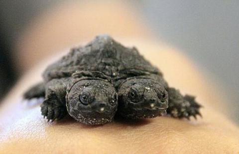 На ферме в Арканзасе родилась двухголовая черепаха