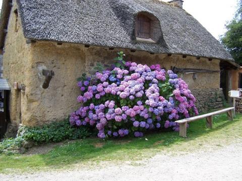 Гортензия садовая (описание и уход).