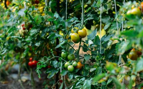 Формирование томатов в тепли…
