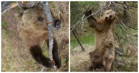 "Медведи покорили интернет своими артистичными ""танцами на пилоне"""