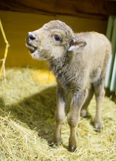 В Ростовском зоопарке впервые за 11 лет родился зубр