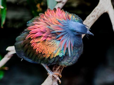 Гривистый голубь — ближайший…