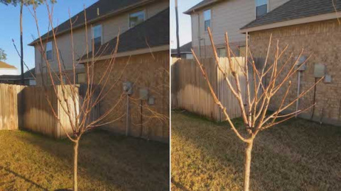 Укоротить ли верхушки деревьев?