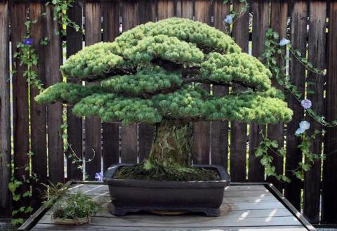 Это 391-летнее дерево бонсай пережило бомбардировку Хиросимы и продолжает расти!