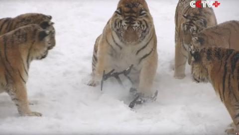 Амурские тигры раскурочили шпионивший за ними квадрокоптер
