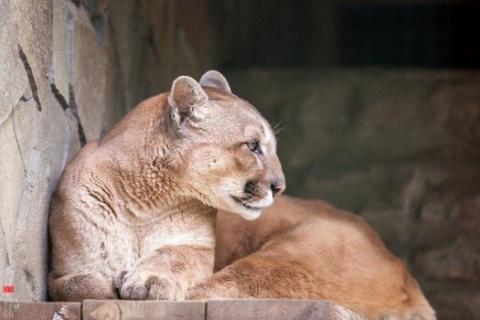На Украине посетители отравили пуму и снежного барса в Николаевском зоопарке