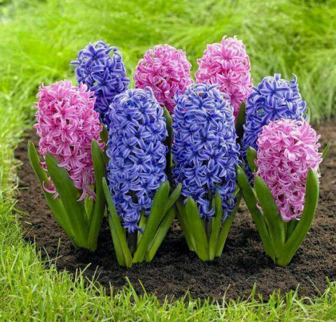 Гиацинт – цветок дождя, покоряет неповторимой красотой и дивным ароматом