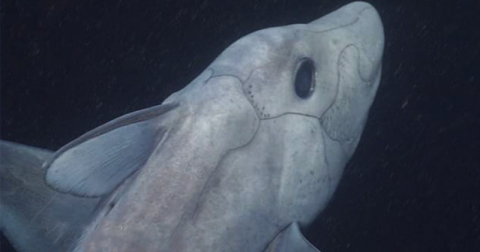 Жуткая древняя акула-призрак впервые показалась перед камерой