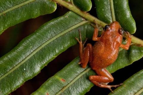 Открытие новых видов лягушек…