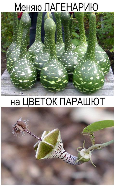 Обмен растениями, растения в дар, растения бесплатно, отдам цветок, подарю цветок, редкие растения, цветок парашют, лагенария, редкие цветы