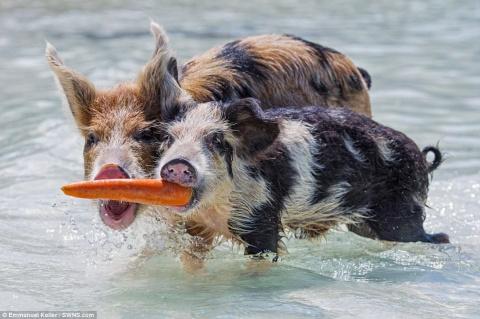 Жизнь милейших свинок на нео…