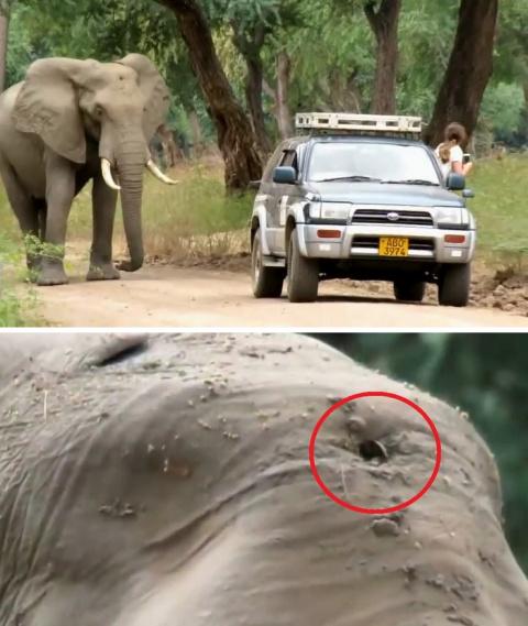 Раненый браконьерами слон са…