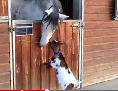 Маленькая козочка попыталась забодать взрослую лошадь
