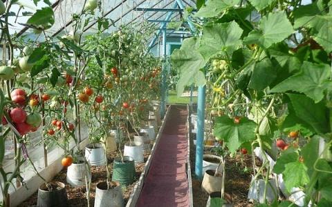 Получил огромный урожай помидоров, выращивая их в ведрах