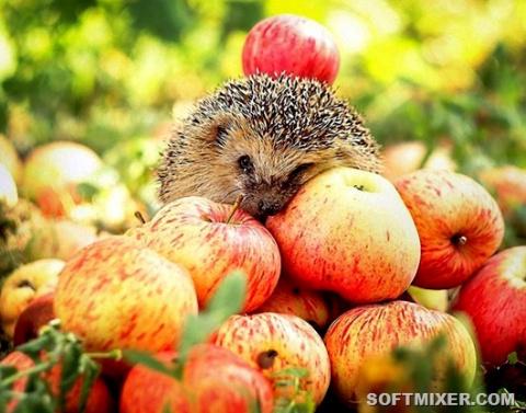 Чего мы не знали о яблоках