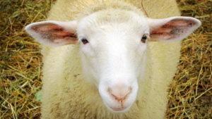Найдите овечку среди Санта Клаусов