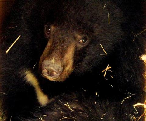 В Приморье медведя посадили в КПЗ