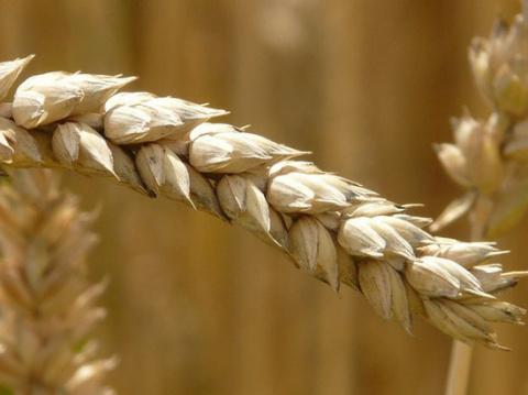 Парадоксы большого урожая: а…