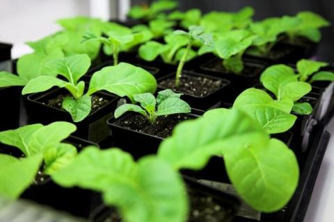 Табак в дело: как вырастить и использовать его на грядках