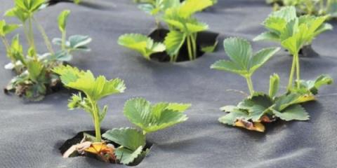 Как сажать клубнику на агров…