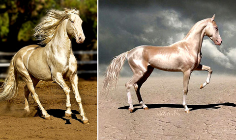 Ахалтекинцы - лошади , котор…