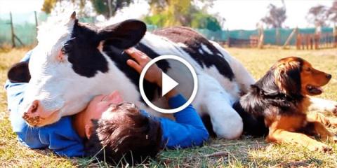 Теперь у этой коровы есть че…