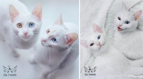 Кошки-близняшки с гетерохром…