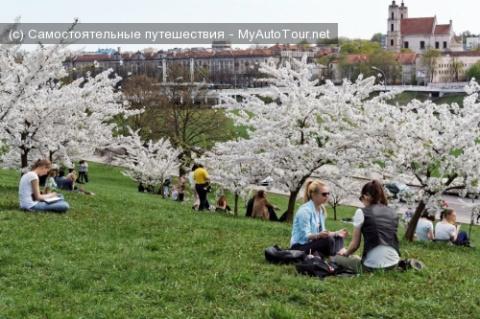 Сакура в Вильнюсе