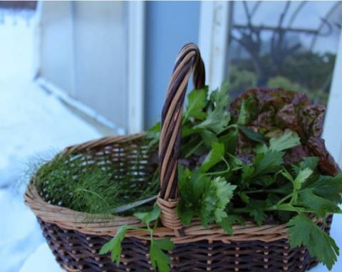 САД, ЦВЕТНИК И ОГОРОД. Выращивание зелени в теплице зимой