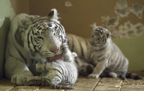 Редкие бенгальские тигрята родились в Ялте