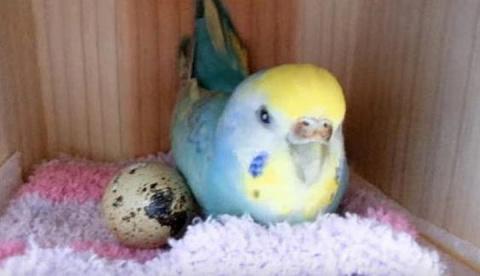 Она купила перепелиное яйцо …
