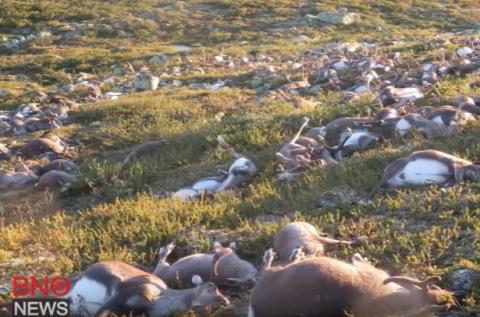 В Норвегии молнией убило более 320 оленей