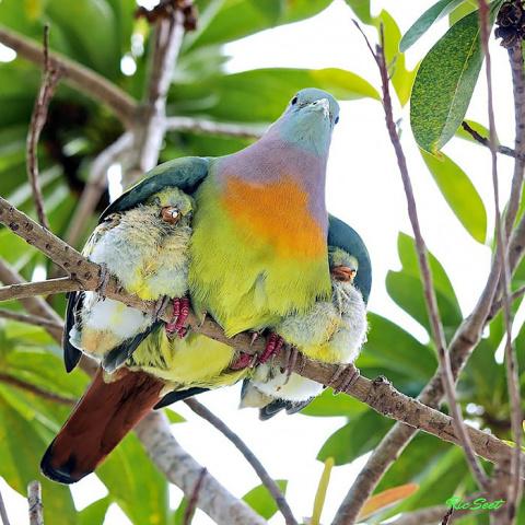 Птичья любовь — нежнее пуха...