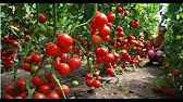 Формирование томатов в открытом грунте