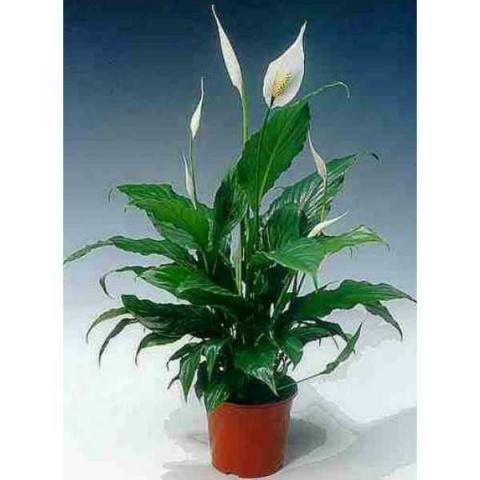 10 комнатных растений семейн…