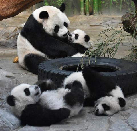 Мама-панда, вновь увидевшая своих малышей, стала звездой YouTube