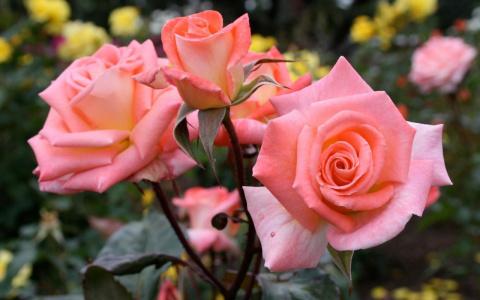 Как и чем правильно укрыть розы на зиму